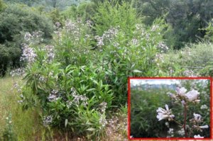 The Plant our Forefathers Used for Respiratory Upsets - Chances are you've seen this plant too. It grows in most forest glades.  You'll discover how to use it to tackle not only common colds but lung problems as well.