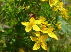 Another plant you'll find in The Lost Book of Remedies is St. John's Wort. It got that name from its uncanny ability to bloom exactly on June 24, the birthday of St. John the Baptist.     The oil of St John's Wort was used for centuries to help people with hemorrhoids.  In the book you'll find a lot more remedies that you can make out of it.