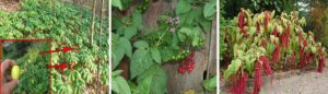 The Lost Knowledge Of Forest Plants - If you ever have to go out foraging, will you know which one of these plants is edible, which one people used for high blood pressure and tension, and which one is poisonous?  The Native Americans knew all too well and probably our grandparents too. But very few people nowadays could give the correct answer. As a survivalist I can tell you that this kind of skills will set you apart from your group during dark times.